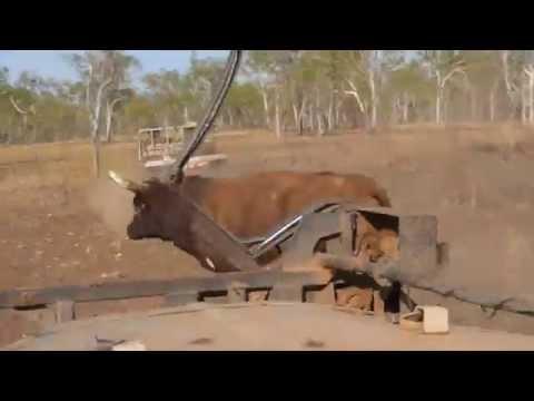Bull Catching at Doongan Station. Kimberleys, Western Australia