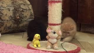 Котята экзоты на продажу, exotic shorthair kittens for sale
