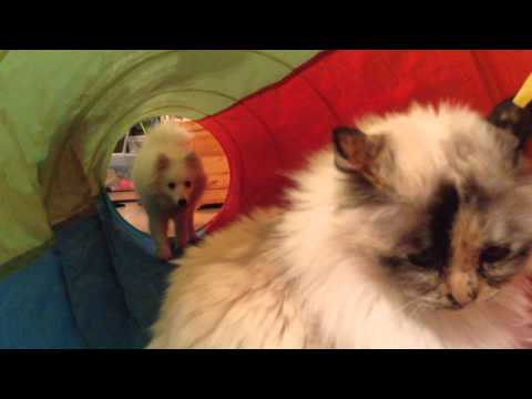 Japanese Spitz puppy and Birman cat investigating the new tunnel
