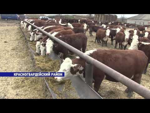 Селекционеры Ставрополья вывели уникальную породу коров