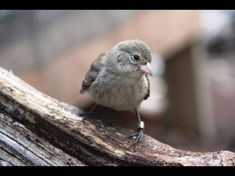 Saving the Mangrove Finch in Galapagos