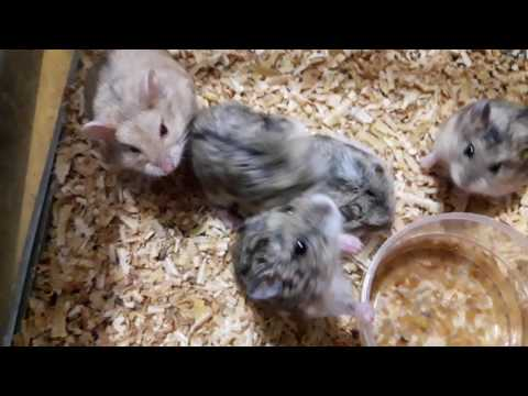 Hamster birahi rebutan kawin