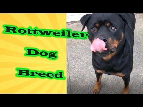 Rottweiler Dog Breed - Amazing Dog Facts