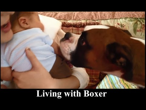 Boxers - Medium dog breeds - All about living with boxer dog puppy