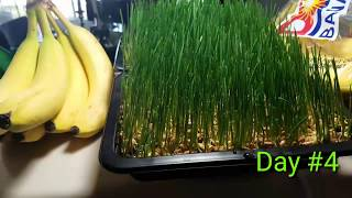HOW TO GROW WHEAT GRASS INDOORS   NO SOIL   NO MOLD