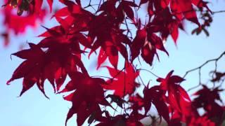 Fast Growing Bloodgood Japanese Maple
