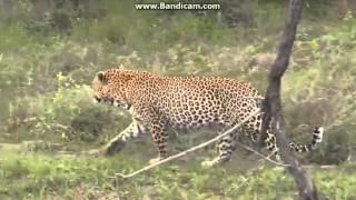 Lampart Leopard dzika przyroda Afryki ,,Safari