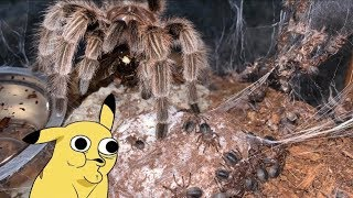 Even TARANTULAS know how to CARE for their BABIES ..