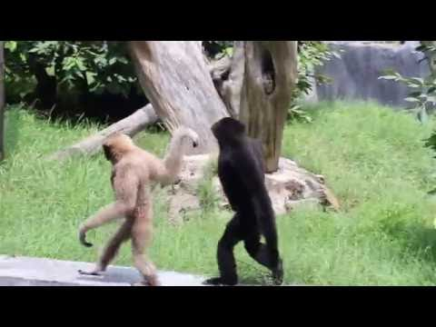 Funny hoolock Gibbon- in Delhi zoo