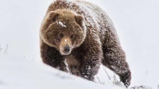 Классная Охота на медведя зимой