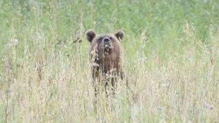 Охота на медведя на овсах с вышки