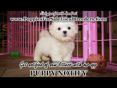 WHITE MALTI TZU PUPPIES FOR SALE, GEORGIA LOCAL BREEDERS, GWINNETT COUNTY, GA