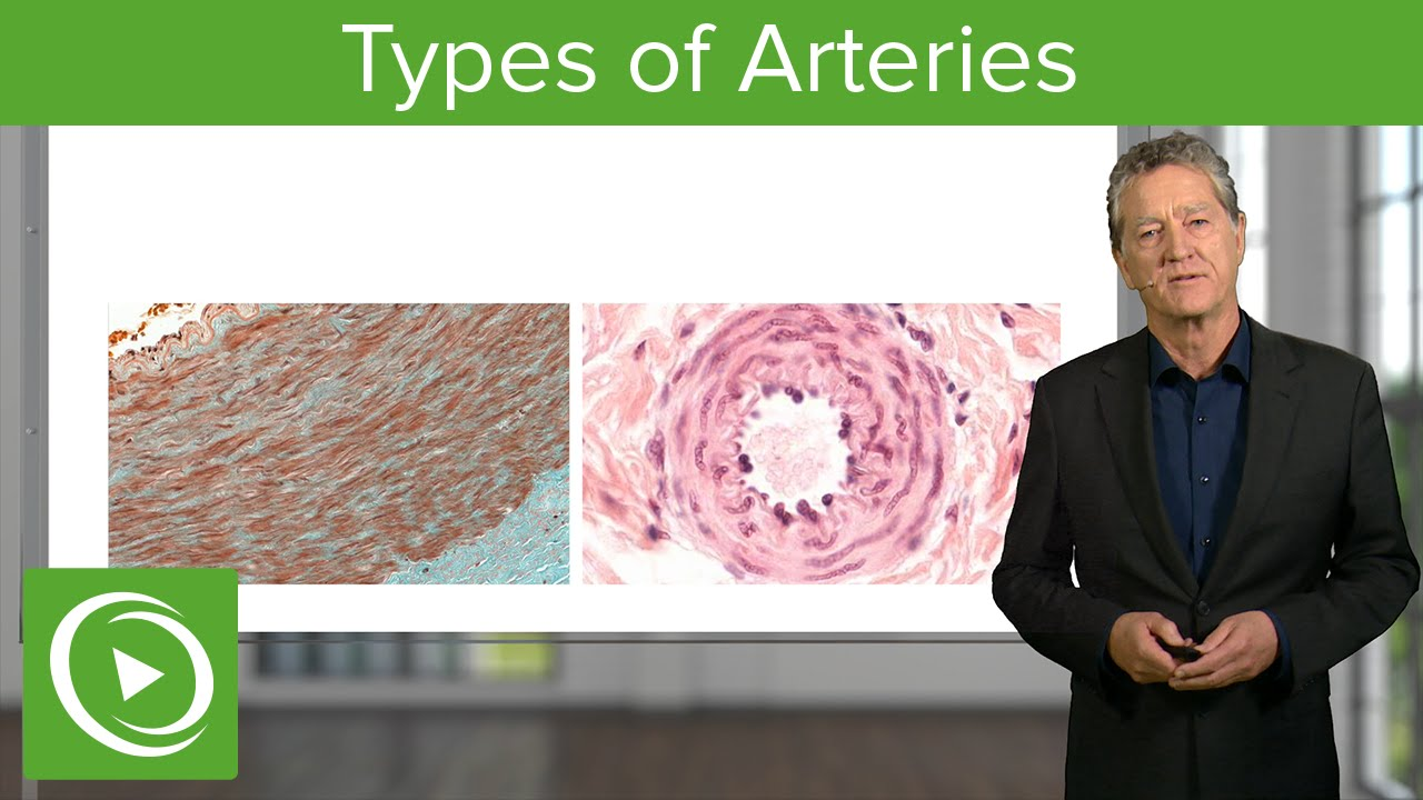 Types of Arteries – Histology | Lecturio