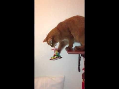 Iggy the naughty Somali Cat thumbnail