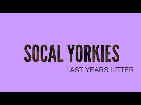 SOCAL YORKIES 💖 2017 Xmas Puppies!!!