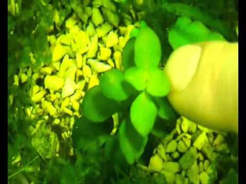 Аквариум - Аквариумные растения - Людвигия