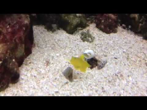 pistol shrimp, yellow goby, boxer shrimp