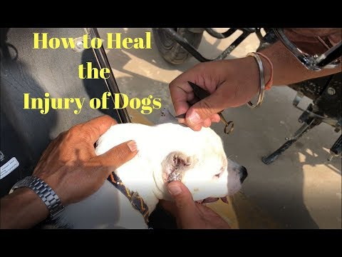 How to Heal the Injury of Dogs - Bhola Shola Films