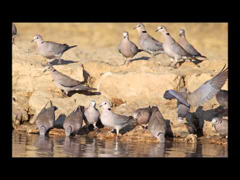 African Doves
