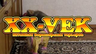 Бесилки йорков - питомник XX Vek