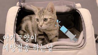 먼치킨 아기고양이 숙희 예방접종 하는 날ㅣ예방접종 가격…