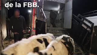 La Fondation sauve une trentaine de bovins d'une exploitation !