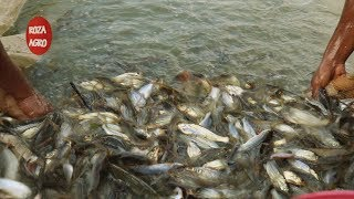 গুলশা ট্যাংরা চাষ করে বিদ্যুৎ হোসেন এলাকায় সাড়া ফেলেছেন, How to cultivate Gulsha fish