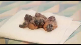 Hand Feeding Baby Zebra Finches- 9 Days Old