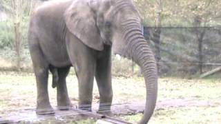 ELEPHANT SEX ....BIG BOYGOES IN !! Pt 5