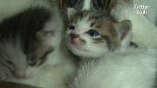 vuclip Adult Cat Still Gets Breastfed By Her Mother | Kritter Klub