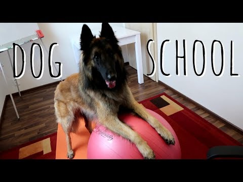 Smart Dog Goes to School | Belgian Shepherd Tervuren