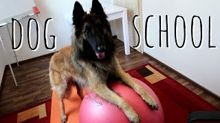 Perro inteligente va a la escuela | Pastor Belga Tervueren