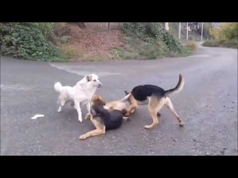 dog fight during mating