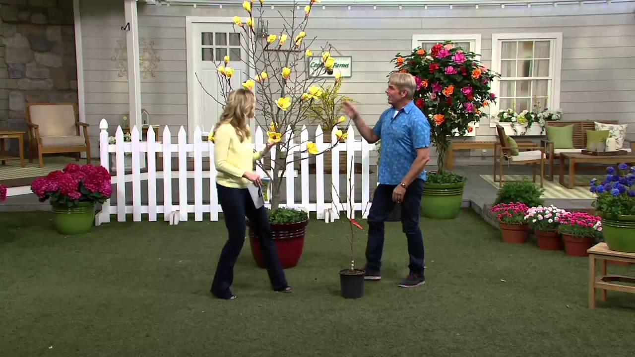 Cottage Farms Magnolia Butterflies Tree On Qvc Youtube