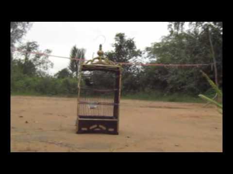Serunya Memikat Kacer (Magpie-Robin Bird Trap)