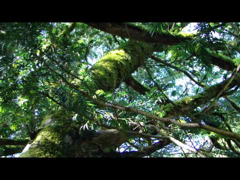 The Silence of the Sacred Irish Tree.MP4