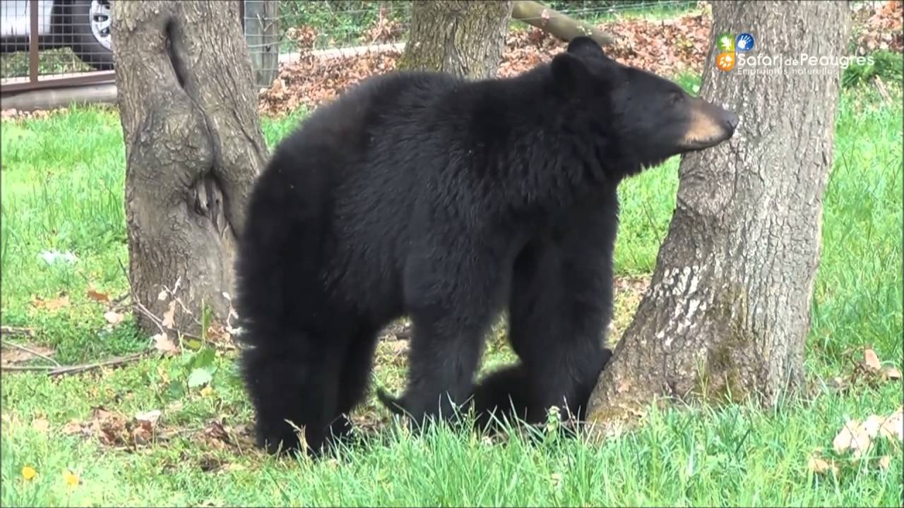 Les oursons sont sortis de leur tanière