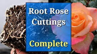 Grow Roses from Cuttings: Complete Guide