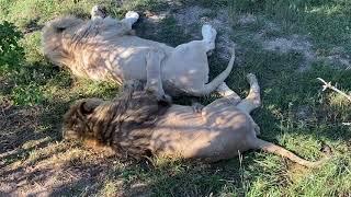 Львы -братья не по роду , а по духу !