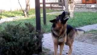 Temperamental dog..Немецкая овчарка Арчи, 3 года.Одесса.
