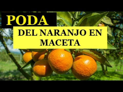 Poda De Naranjo En Maceta Youtube