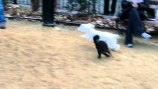 Chipper the speedracing poodle - goodbye 2011