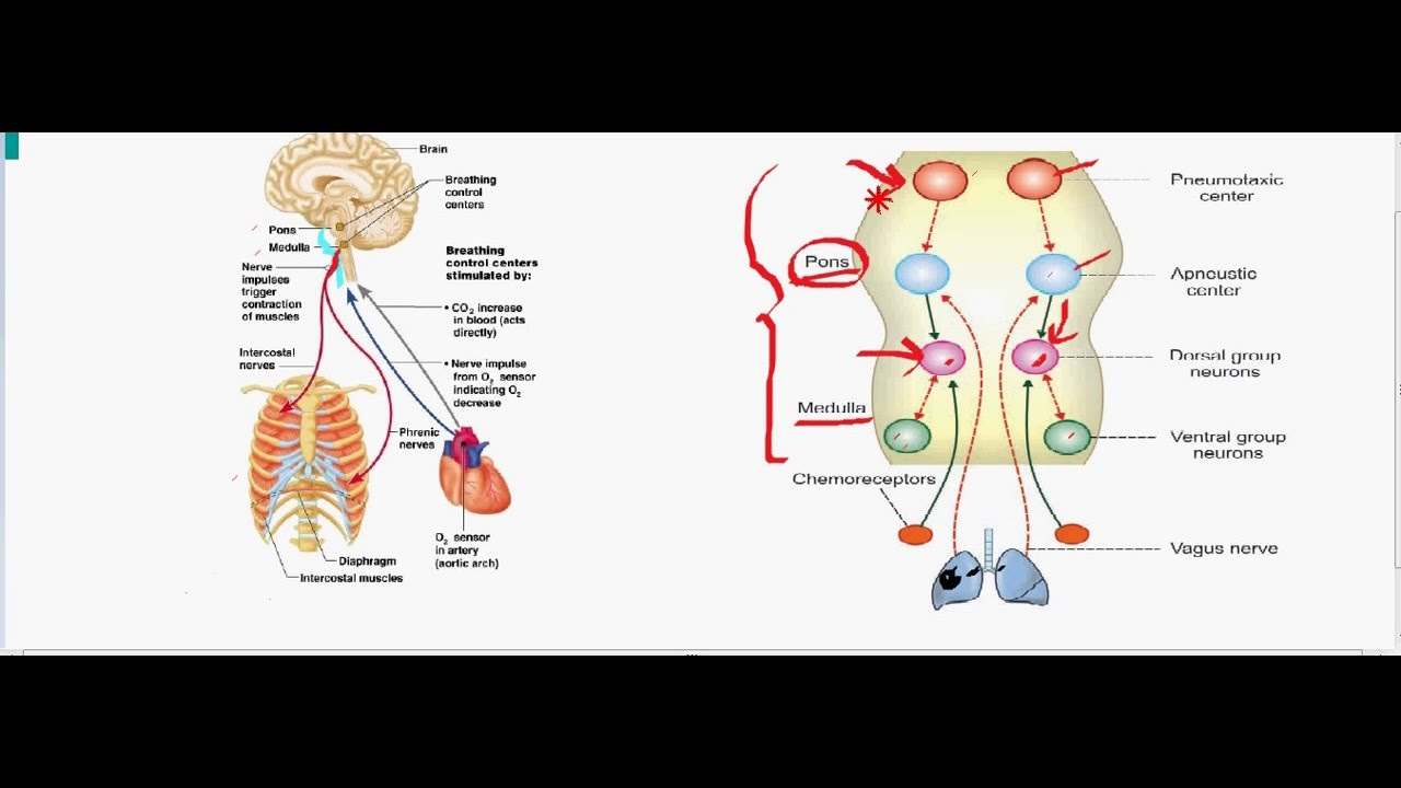 role of regulation of breathing Yep so as the title says, role of internal receptors for regulation of breathing rate for homeostasis if anyone would be able to explain this to me it.