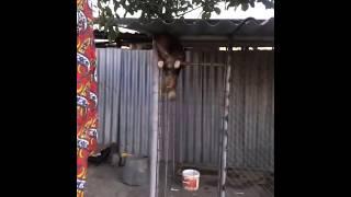 Собака лазает по забору)