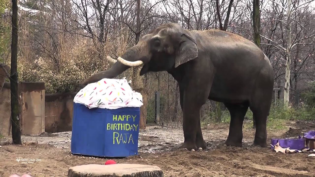 Happy 22nd Birthday to Asian elephant Raja at Saint Louis Zoo YouTube