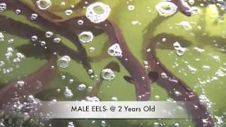 How To Grow Eels- EEL FARMING IN AUSTRALIA