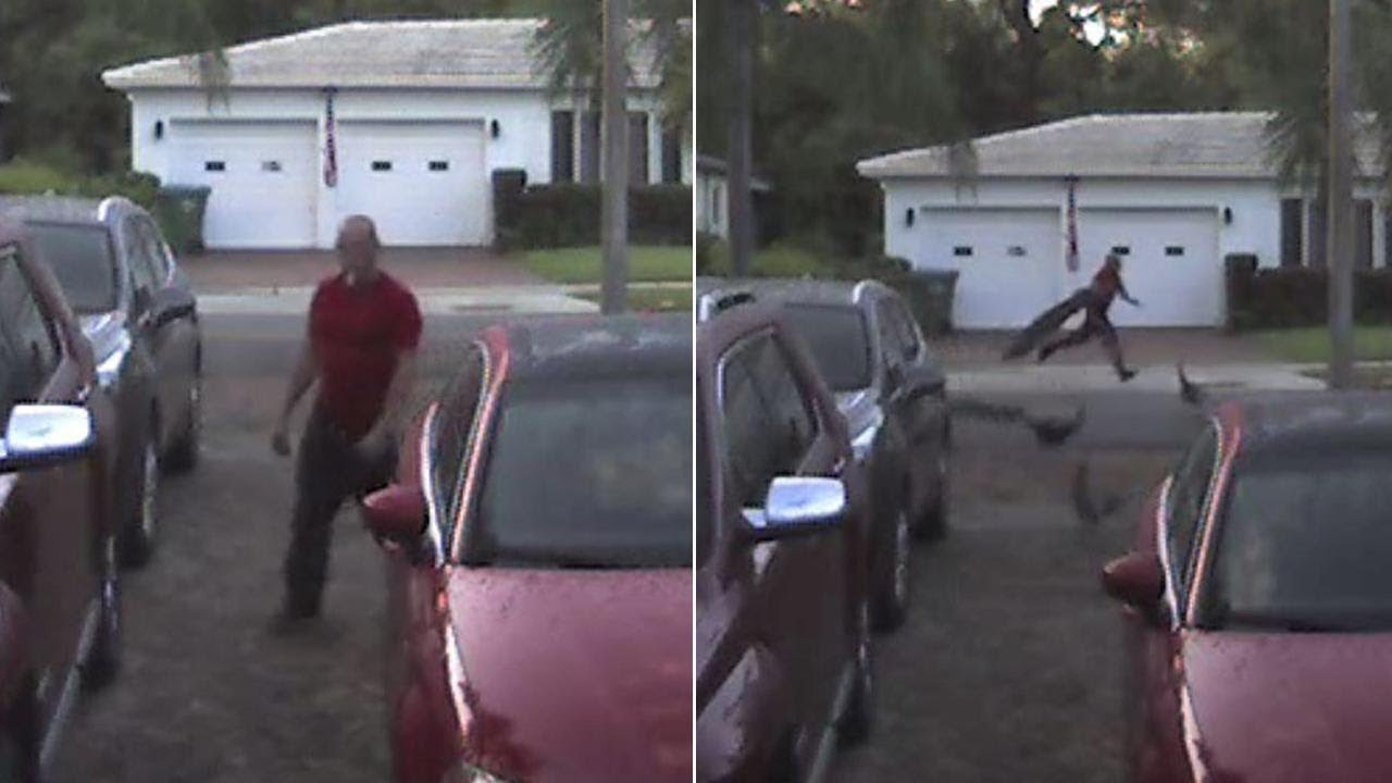 wild-peacocks-chase-man-who-allegedly-swiped-one-off-street