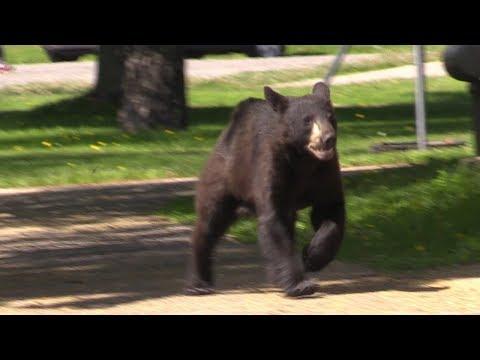 Bear Seen Downtown Sault Ste Marie