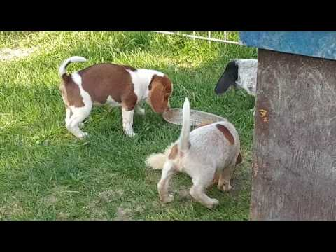 Love Chocolate?  Check out these Chocolate Beagle puppies!