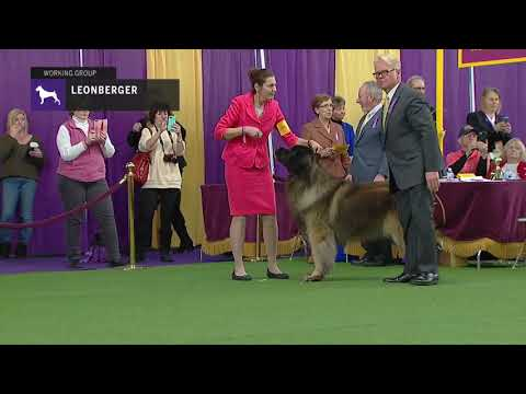 Leonbergers | Breed Judging 2019